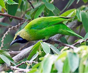 Jerdons leafbird