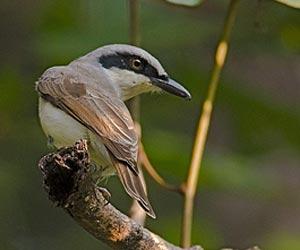 Malabar woodshrike
