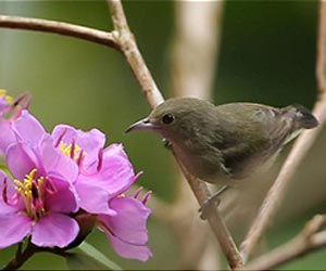 Pale-billed-flowerpecker