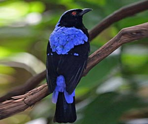 Asian-fairy-bluebird