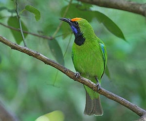 Golden-fronted leaf bird