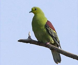 Grey-fronted-green-pigeon