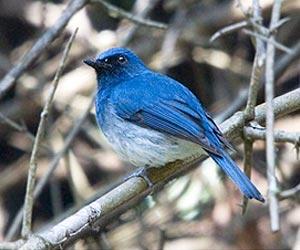 White-bellied-blue-flycatcher