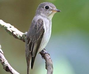 asian-brown-flycatcher
