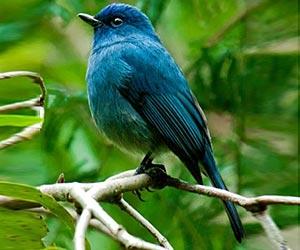 nilgiri-flycatcher