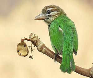 white-cheeked-barbet